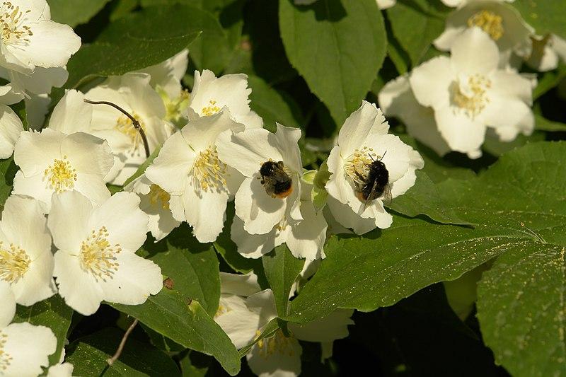 fleurs du seringat