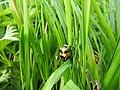 Burying beetle (28013996572).jpg