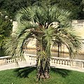 Butia odorata - Nîmes Jardin de la fontaine (sept 2015).jpg