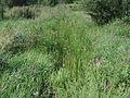 Butomus umbellatus 5446667.jpg