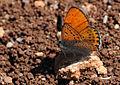 Butterfly Lesser fiery copper - Lycaena thersamon.jpg