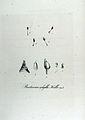 Buxbaumia aphylla — Flora Batava — Volume v12.jpg