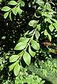Buxus microphylla japonica kz1.jpg