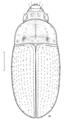 COLE Carabidae Amarotypus edwardsi.png