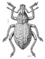 COLE Curculionidae Leptopius robustus.png