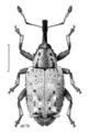 COLE Curculionidae Praolepra squamosa.png