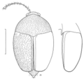 COLE Staphylinidae 3.png