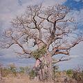 COLLECTIE TROPENMUSEUM Een baobab in de omgeving van Livingstone TMnr 20039288.jpg