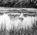 COLLECTIE TROPENMUSEUM Een man onderzoekt een anophelesbroedplaats in een visvijver te Mandailing Tapanoeli Sumatra TMnr 10006683.jpg