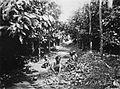 COLLECTIE TROPENMUSEUM Het oogsten van cacao TMnr 60025360.jpg