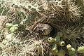 Cactus Wren nesting 2.JPG