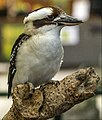 Cairns Kookaburra on the lookout-3 (15848001017).jpg