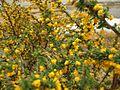 Calafate bush.jpg