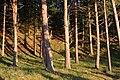 Caledonian Pine Woods - geograph.org.uk - 235061.jpg