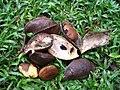 Callerya atropurpurea Gousse et graines.JPG