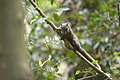 Callosciurus erythraeus thaiwanensis (34345607293).jpg