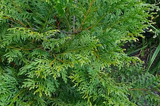 <i>Calocedrus macrolepis</i> species of plant