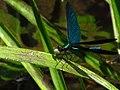 Calopteryx IMG 5474.jpg