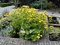 Caltha palustris 1.jpg
