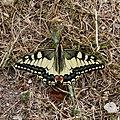 Calvisson-Papilio machaon-20140602.jpg