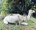 Camelincaptivity.jpg
