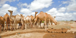 Camels drink at a water point (8331340888).png