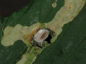 Horse-chestnut leaf miner - Pupa