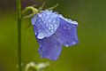 Campanula with waterdrops 2.jpg