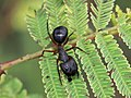 Camponotus compressus IMG 4437.jpg