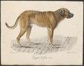 Canis lupus familiaris - 1818-1842 - Print - Iconographia Zoologica - Special Collections University of Amsterdam - UBA01 IZ22300200.tif