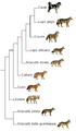 Canis phylogeny (ita).png