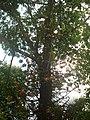 Cannon-ball tree...നാഗലിംഗ മരം.jpg