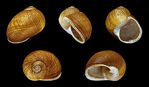 Helix aperta - Five views of a shell of Helix aperta
