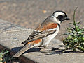Cape Sparrow male RWD.jpg