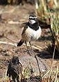 Capped Wheatear, Oenanthe pileata at Suikerbosrand Nature Reserve, Gauteng, South Africa (15159610516).jpg