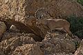Capra nubiana, Israel 5.jpg