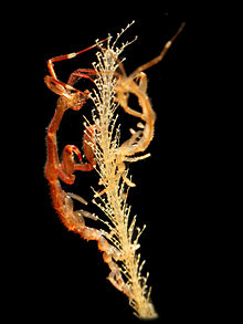 Caprella mutica 2.jpg