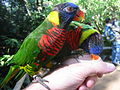 Captive lorikeets at Animal Park, San Pasqual, Escondido, California.jpg