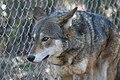 Captive male red wolf at Sandy Ridge (6351536348).jpg