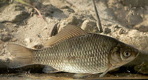 Crucian carp -  Prussian carp Carassius gibelio as comparison