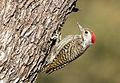 Cardinal Woodpecker - MALE, Dendropicos fuscescens at Pilanesberg National Park, Northwest Province, South Africa (15068978436).jpg