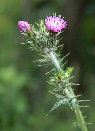Carduus pycnocephalus - Carduus pycnocephalus flowers (Italy).