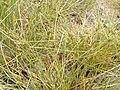 Carex extensa (16).jpg
