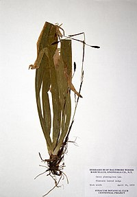Carex plantaginea BW-1979-0430-0300.jpg