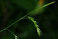 Carex sylvatica 03.jpg