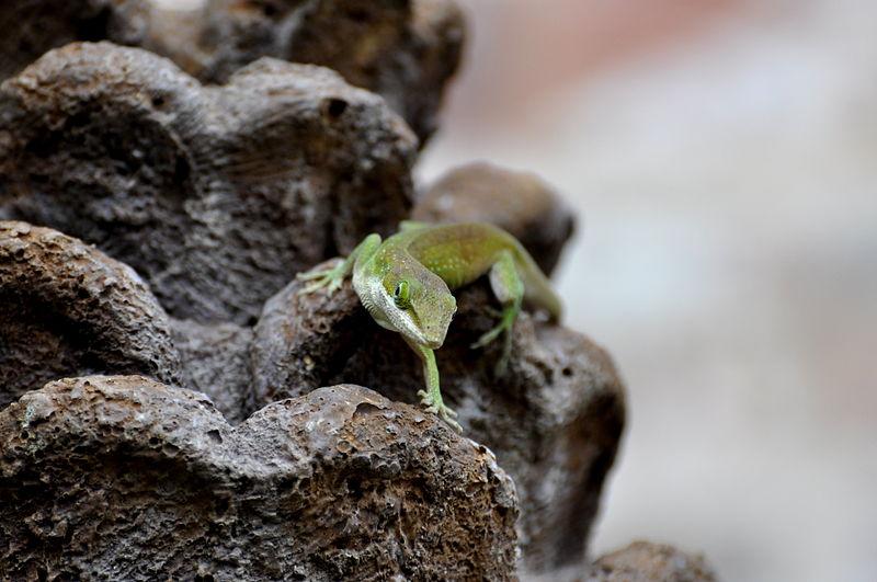 File:Carolina Anole Lizard Crawling.jpg