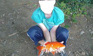 Cyprinus carpio wikipedia la enciclopedia libre for Criadero de peces de colores