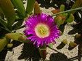 Carpobrotus glaucescens flower1 (8418452732).jpg