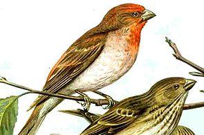 Karmingimpel (Carpodacus erythrinus)
