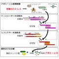 Caspases cascade diagram jp.png